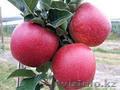 яблоки из Кабардино-Балкарии